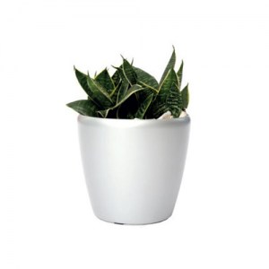birds-nest-sansevieria